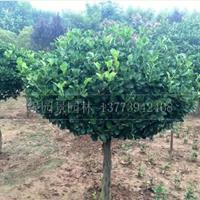 江蘇高桿大葉黃楊價格/圖片/1.2米分枝高桿大葉黃楊球產地