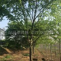 江苏红榉价格批发/米径5—15公分红榉价格供应/榉树行情