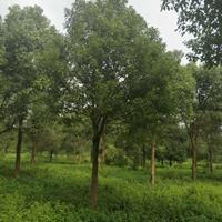广西全州低价供应20公分香樟树/樟树价格/香樟行情介绍/特征/用途