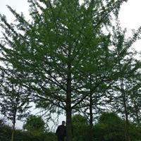 優質特價廣西地區供應自己苗圃的銀杏樹/30公分以上銀杏樹行情產地直銷