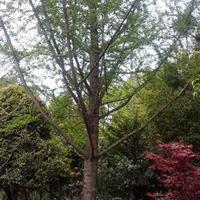 廣西供應桂花樹、銀杏樹、香樟樹、紅楓、青楓規格齊全