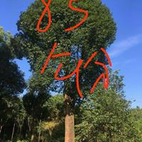 广西全州85公分香樟树/造型榆树/造型榕树/榕树盆景/红果冬青/茶花介绍/特征/用途