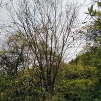 廣西樸樹介紹/無中介樸樹特征/樸樹價值用途