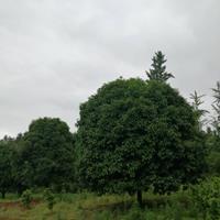 全州縣桂花樹、銀杏樹、香樟樹、紅楓、青楓圖片/桂花報價