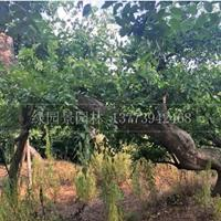 哪里的榔榆便宜处理/沭阳绿园景园林苗木基地/直销/价格/图片