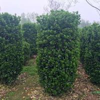 今年江蘇大葉黃楊柱基地新報價/高度1.5—3.5米大葉黃楊柱