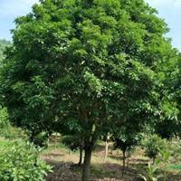 大小规格供应地径3--12公分四季桂、四季桂花基地