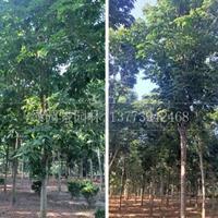 江苏苗木基地供应白花七叶树/图片/沭阳绿园景园林产地低价直销