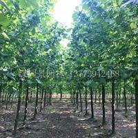 优质特价米径1--30公分速生法桐价格产地直销/法桐、紫叶桃、碧桃、木瓜、国槐、垂柳