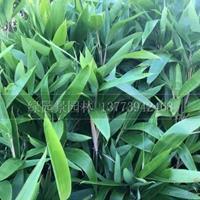 沭阳绿园景园林供应/箬竹、大叶箬竹/图片/基地直销价格新报价