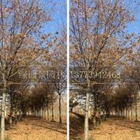 江苏榉树/红榉树/米径1-20公分榉树价格新报价
