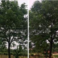 沭陽綠園景園林基地供應/苦楝/圖片/價格/產地直銷/低價批發
