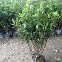 沭阳绿园景园林供应夏鹃、紫鹃、杜鹃、毛鹃、图片、基地直销价格