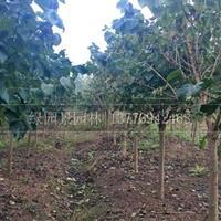 江蘇苗圃地徑2~12公分紫丁香價格介紹/紫丁香/丁香樹價格