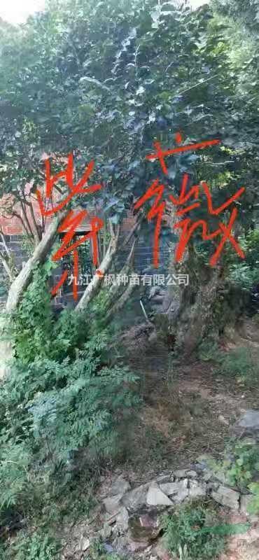 九江广枫种苗有限公司