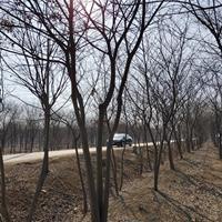 沭阳朴树基地 大量直销朴树小苗 白榉 丛生朴树价格图片
