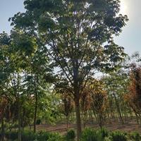 供应七叶树 大小规格 七叶树小苗基地 价格 图片