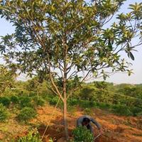 沭阳枇杷基地 销售枇杷小苗 枇杷树多少钱一株价格图片