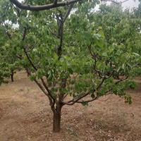 10公分杏树=10公分家杏树-10公分山杏价格=山西运城杏树