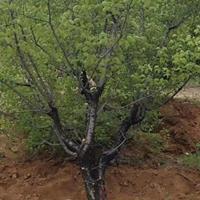 出售杏树的地区?杏树主产地区·山西运城杏树种植批发基地