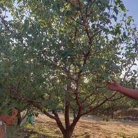 出售山杏的地区?山西山杏种植基地·运城山杏树规格齐全