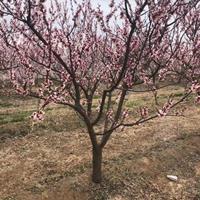 出售杏树的地区?哪里是杏树的主要产地?山西运城杏树基地