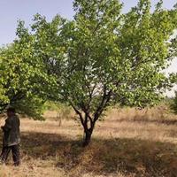 出售8公分山杏10公分山杏产地12公分山杏树哪里有卖的?