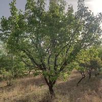 地径10公分15公分杏树价位是多少杏树出售多少钱一棵