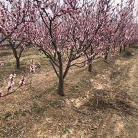 杏树苗产地在哪里?山西杏树苗种植基地?杏树产地详情介绍