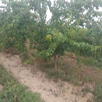 哪有杏树苗?山西运城杏树苗批发价格?杏树种植产地详情