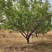 杏苗产地·杏树种植基地·嫁接梅花的杏树桩批发价格