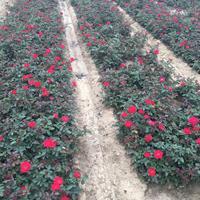 沭阳绿园景园林苗木基地供应红帽月季/图片/产地直销/批发价格