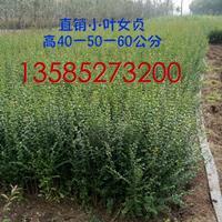 优质小叶女贞一年苗价格0.1元 绿化工程用苗 小叶女贞球