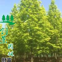 沭陽金葉水杉種植基地、貨源充足、規格齊全、