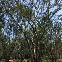 供應叢生櫸樹 叢生櫸樹價格表 叢生櫸樹圖片