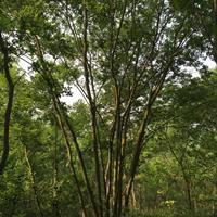 供应丛生朴树 丛生朴树价格表 丛生朴树图片