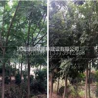 北京栾树哪里便宜/沭阳绿园景园林/基地直销/产地价格/图片