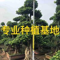 小叶榕价格 造型榕树盆景 造型小叶榕桩景 小叶榕桩头