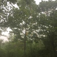 17-18马褂木  四川货源