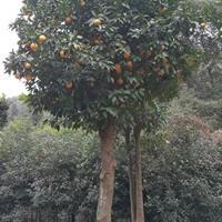湖南18公分香橼价格,15公分香橼哪里便宜,移栽香橼哪里有卖