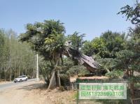 供應精品造型奇形樸樹