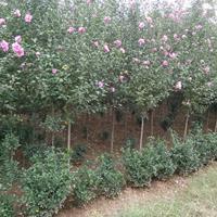 木槿 優質木槿樹苗 紅花重瓣木槿花 低價直銷供應木槿