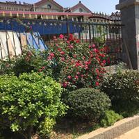 藤本薔薇1.5米長 有刺薔薇種植圍墻柵欄 爬藤植物快遞發貨