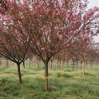 江蘇千畝櫻花園現低價銷售5-12公分早櫻花 晚櫻花 日本櫻花