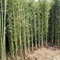 青竹 毛竹 黄竹 紫竹围墙种植 佛肚竹庭院观赏竹