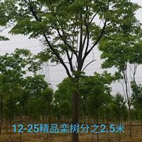 安徽地区供应12-15公分栾树
