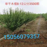 安徽地區供應5-12公分木槿
