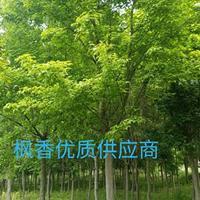 安徽地区供应8-20公分枫香