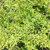 连翘床苗 金叶连翘60厘米 花边假连翘 金边连翘庭院观赏植物