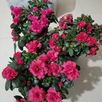 西洋杜鹃盆栽苗 毛叶杜鹃工程苗 紫叶杜鹃庭院观赏植物